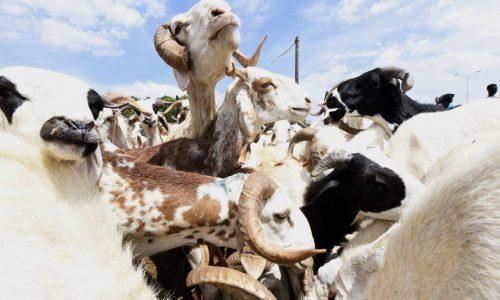 Sénégal: avant la Tabaski, à Dakar, tout le monde cherche son mouton