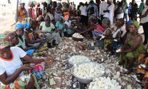 Maladie du manioc en Afrique: des chercheurs mettent en garde contre une «catastrophe alimentaire»